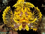 rhinopias-divers-lodge-lembeh