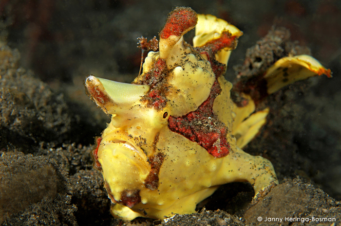 clown-frogfish-divers-lodge-lembeh
