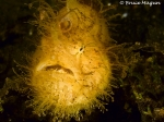 hairyfrogfish