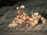 harlequin-shrimp-divers-lodge-lembeh