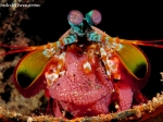 mantis_shrimp