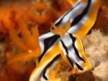 nudi-divers-lodge-lembeh-24