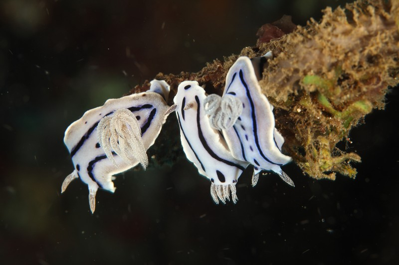 nudi-divers-lodge-lembeh-31