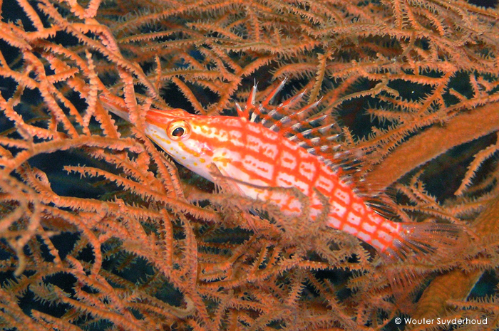 Longnose hawkfish Photo by Wouter Suyderhoud
