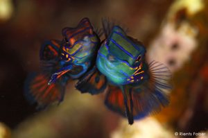 Mandarinfish Mating