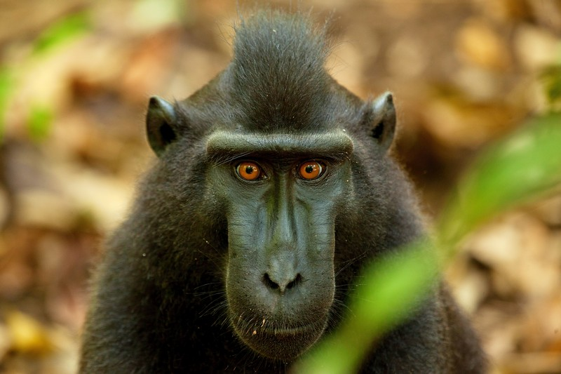 Black Macaque Monkey in Tangkoko by Divers Lodge Lembeh