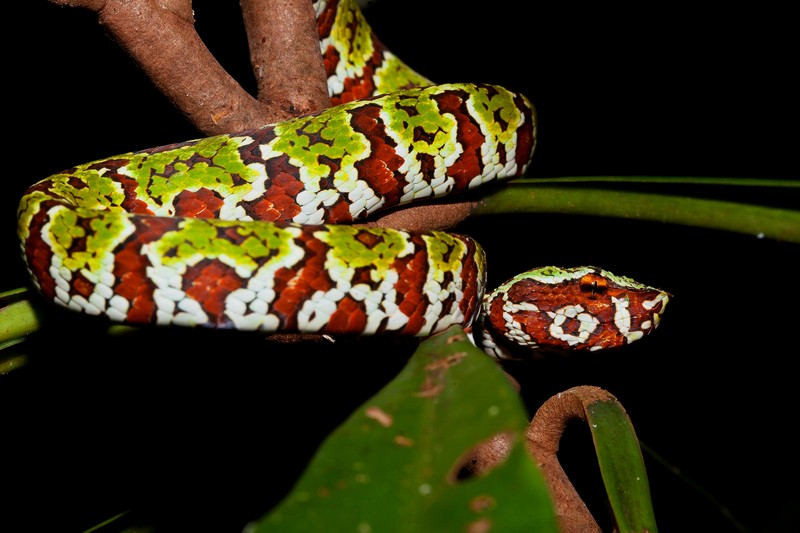 Snake at night in Tangkoko by Divers Lodge Lembeh