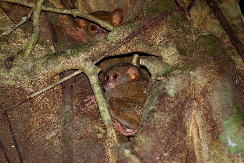 Tarsiers in Tangkoko by Divers Lodge Lembeh