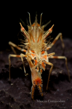 Tiger Shrimp at Divers Lodge Lembeh