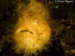 hairyfrogfish