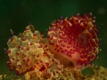 nudi-divers-lodge-lembeh-18