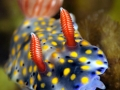 nudibranch-divers-lodge-lembeh