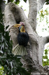 Hornbill in Tangkoko - Photo by Danielle de Jong