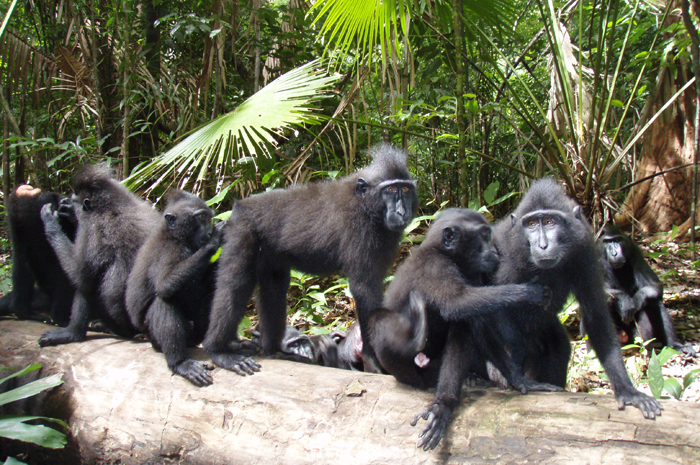 A family of friendly Black Macaque Monkey in Tangkoko National Park Photo by Belgis