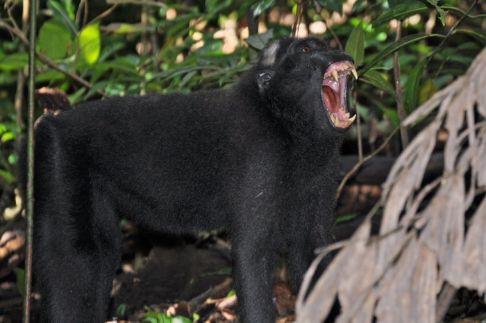 A black Macaque monkey yawning Photo by Belgis