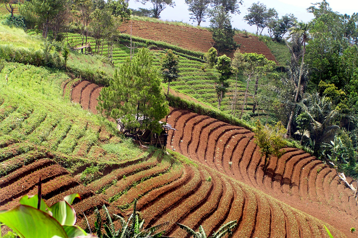 Traditional agriculture in Tomohon, Minahasa highland