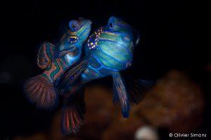 Mandarinfish Mating