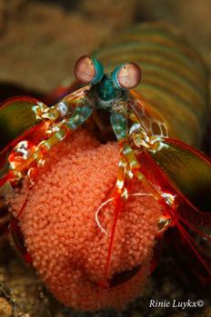 Mantis Shrimp with Eggs